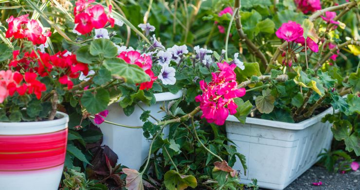Scented Geraniums – Sunroom Plants