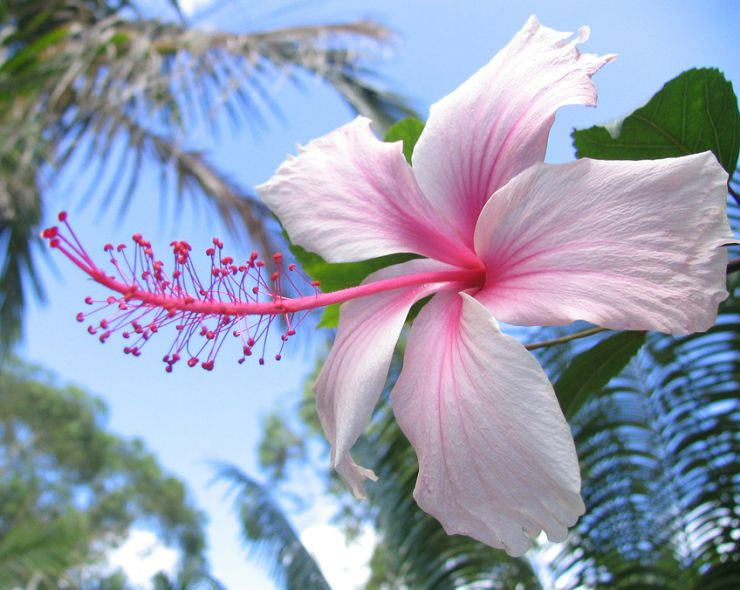 Hibiscus Flower White and Pink