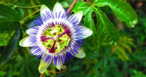 Passion Flower Thrives in a Sunroom