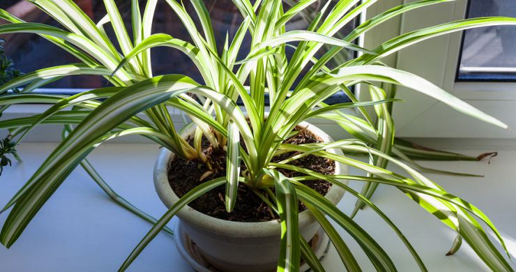 Spider Plant For the Sunroom